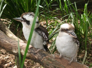 Kookaburras at Australia Zoo